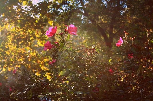 roses-245442_640