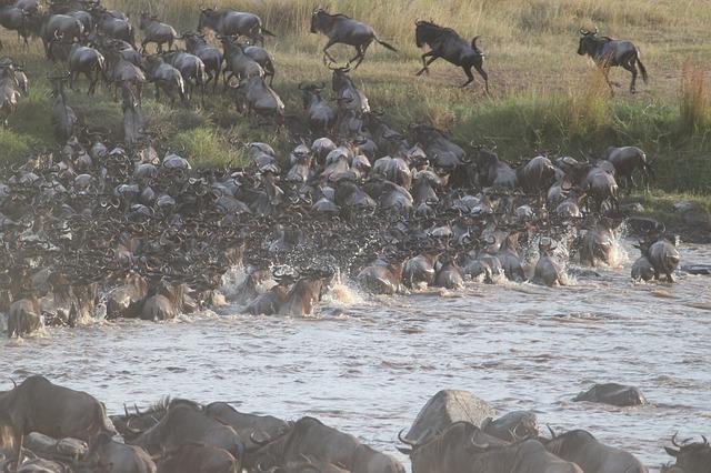 wildebeest-migration-2322110_640